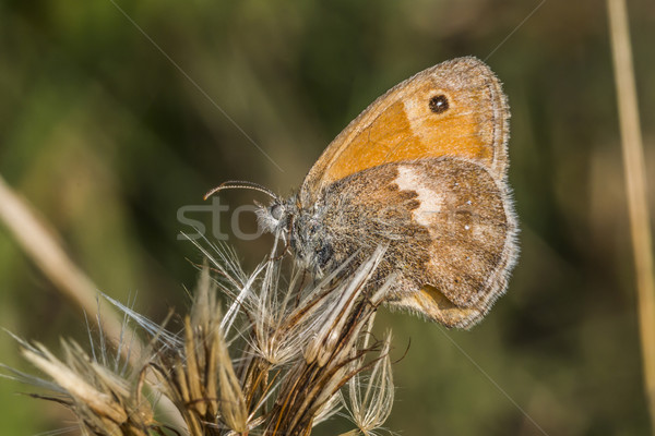 Small heath butterfly(Coenonympha pamphilus) Stock photo © Rosemarie_Kappler