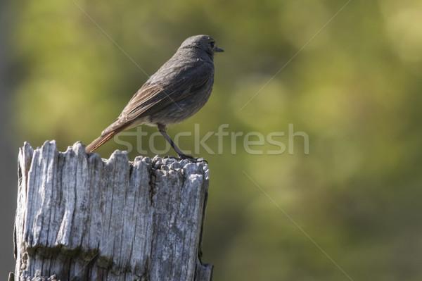 Zwarte vergadering post landschap veer dier Stockfoto © Rosemarie_Kappler