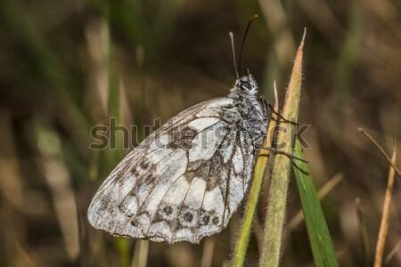 Westerse witte vergadering boom gras vlinder Stockfoto © Rosemarie_Kappler