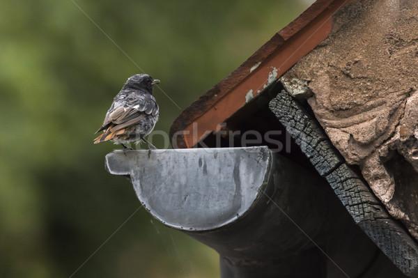 Preto paisagem pássaro pena animal Foto stock © Rosemarie_Kappler