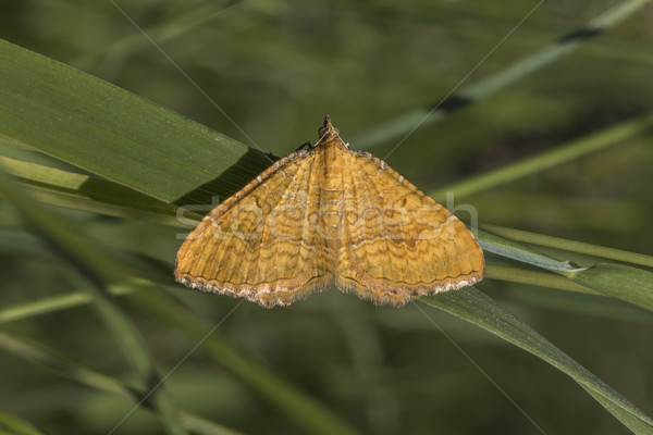 Yellow shell moth (Camptogramma bilineata) Stock photo © Rosemarie_Kappler