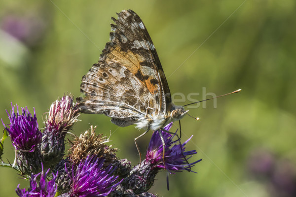 Cosmopolitan butterfly (Vanessa cardui) Stock photo © Rosemarie_Kappler