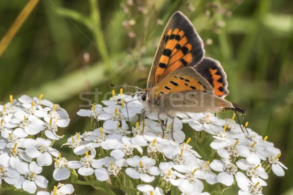Common copper (Lycaena phlaeas) Stock photo © Rosemarie_Kappler