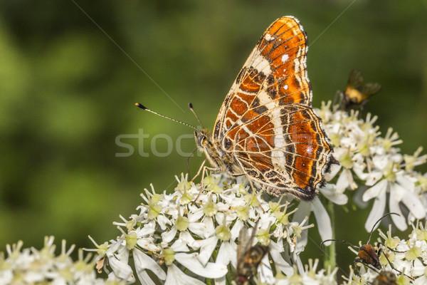 Map butterfly (Araschnia levana) Stock photo © Rosemarie_Kappler