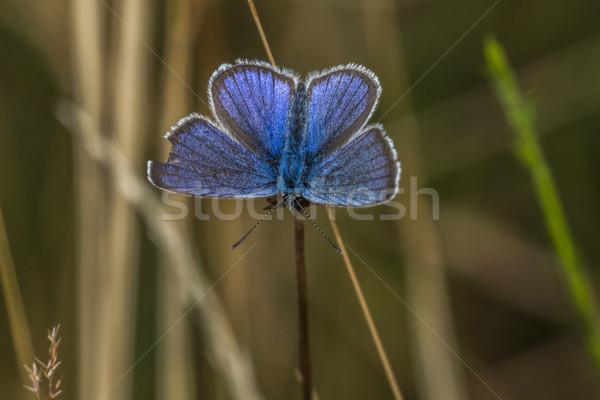 Meleager's blue (Polyommatus semiargus) Stock photo © Rosemarie_Kappler