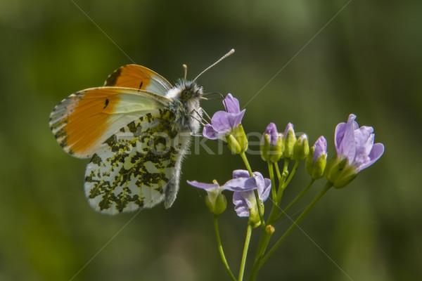 оранжевый дерево трава бабочка крыльями луговой Сток-фото © Rosemarie_Kappler