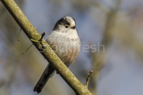 Long-tailed tit (Aegithalos caudatus) Stock photo © Rosemarie_Kappler