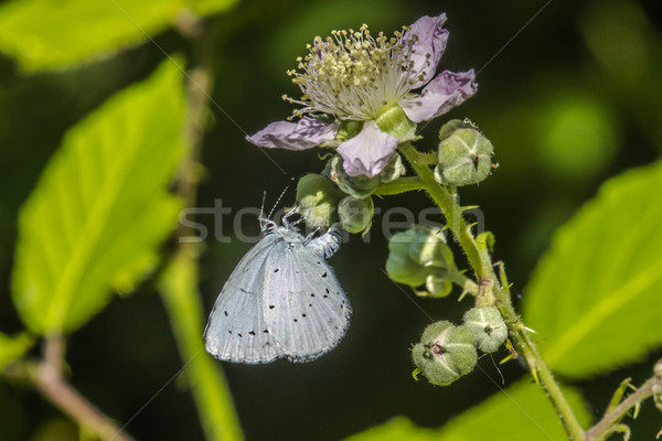 Hill hedge blue (Celestrina argiolus) Stock photo © Rosemarie_Kappler
