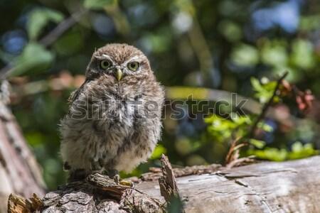 Little owl (Athene noctua) Stock photo © Rosemarie_Kappler
