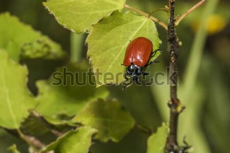 Red poplar leaf beetle(Melanosoma populi) Stock photo © Rosemarie_Kappler