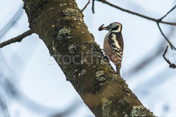 Medium spotted woodpecker (Dendrocopus medius) Stock photo © Rosemarie_Kappler