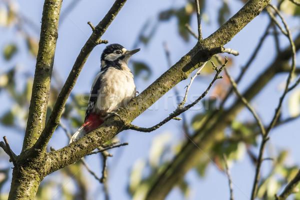 Great woodpecker (Dendrocopus major) Stock photo © Rosemarie_Kappler