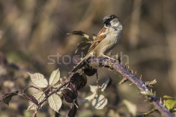 Domu wróbel posiedzenia oddziału charakter ptaków Zdjęcia stock © Rosemarie_Kappler