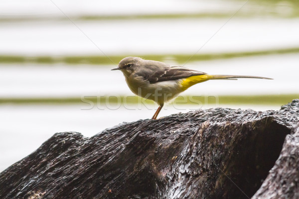 Grey wagtail (Motacilla cinerea) Stock photo © Rosemarie_Kappler