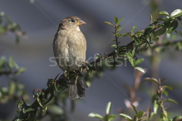 Maison moineau séance branche nature oiseau Photo stock © Rosemarie_Kappler