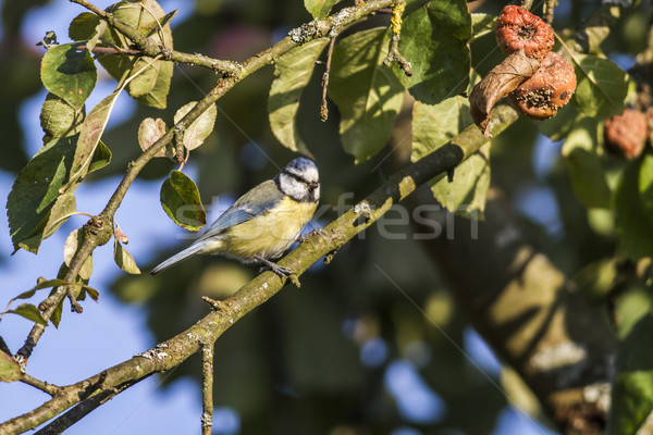 Bluetit (Parus caeruleus) Stock photo © Rosemarie_Kappler