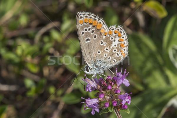 Common blue (polyommatus Icarus) Stock photo © Rosemarie_Kappler