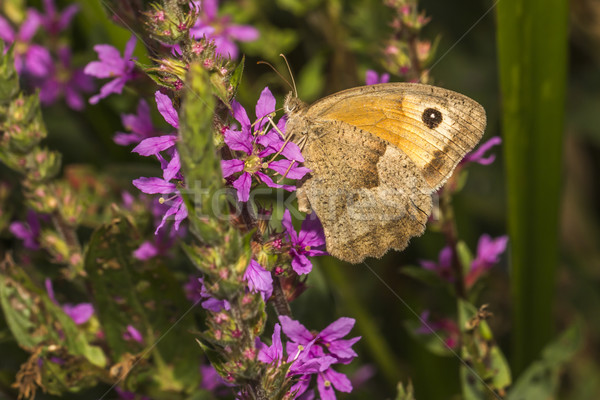 Weide bruin bloem boom gras vlinder Stockfoto © Rosemarie_Kappler