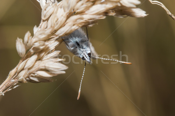 Common blue(Polyommatus icarus) Stock photo © Rosemarie_Kappler