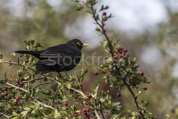 Merel vergadering tak natuur landschap vogel Stockfoto © Rosemarie_Kappler