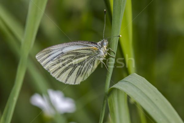 Green-veined white (Pieris napae) Stock photo © Rosemarie_Kappler
