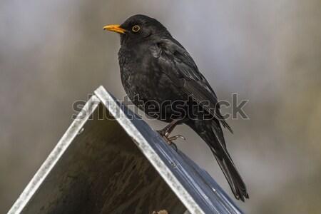 дрозд черный сидят Top птица таблице природы Сток-фото © Rosemarie_Kappler