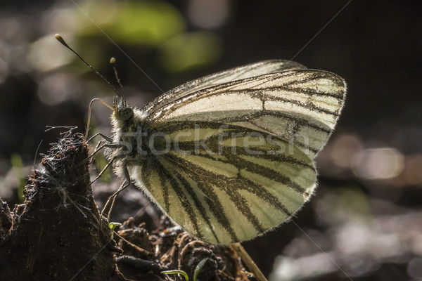 белый свет дерево трава бабочка крыльями Сток-фото © Rosemarie_Kappler