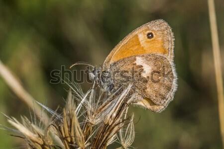 Meadow brown (Maniola jurtina) Stock photo © Rosemarie_Kappler