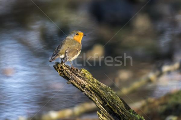 Robin redbreast (Erithacus rubecula) Stock photo © Rosemarie_Kappler