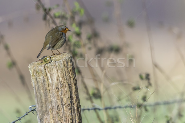 Robin redbreast (Erithacus rubicula) Stock photo © Rosemarie_Kappler