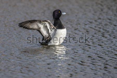 Eend water natuur dieren golf zwemmen Stockfoto © Rosemarie_Kappler