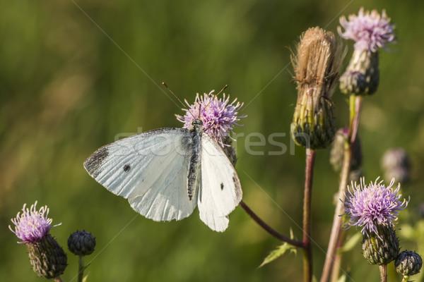 Cabbage butterfly (Pieris rapae) Stock photo © Rosemarie_Kappler