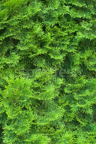 Ciprés agujas hojas perennes jóvenes textura primer plano Foto stock © rozbyshaka