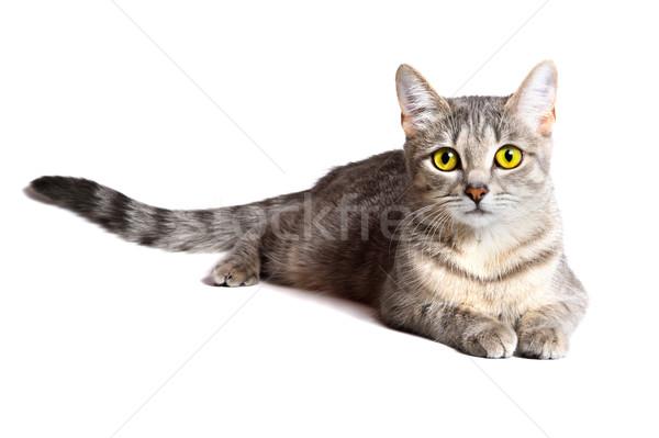 beautiful tabby cat  Stock photo © rozbyshaka
