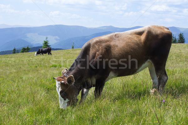 cow and field of fresh grass Stock photo © rozbyshaka