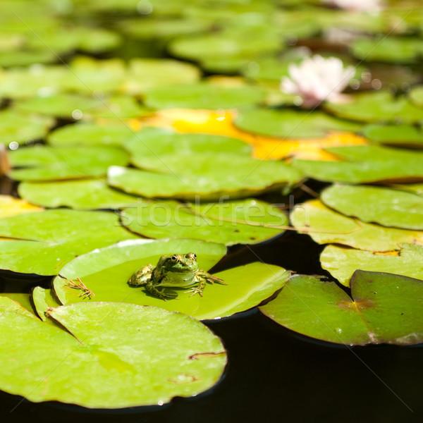 Sapo sessão lótus folhas folhas verdes verão Foto stock © rozbyshaka
