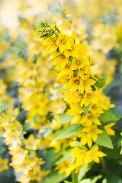 лет луговой Полевые цветы саду желтый избирательный подход Сток-фото © rozbyshaka