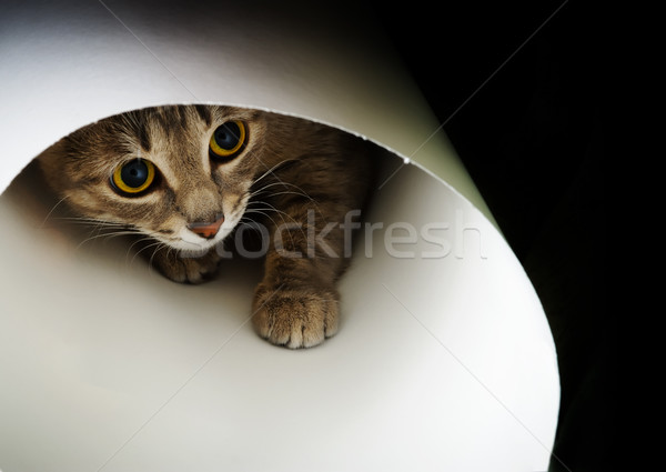 Kíváncsi macska gyönyörű felfelé néz fekete arc Stock fotó © rozbyshaka