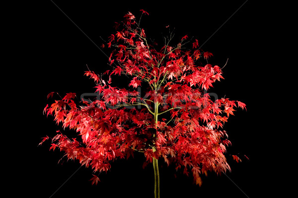 Acer at night Stock photo © RTimages