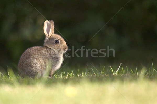 Wild rabbit Stock photo © RTimages
