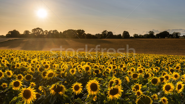 Sunflower harvest Stock photo © RTimages