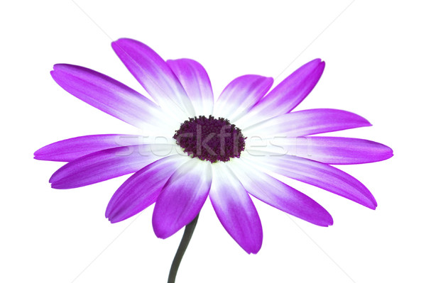 Senetti Magenta High Key Stock photo © RTimages