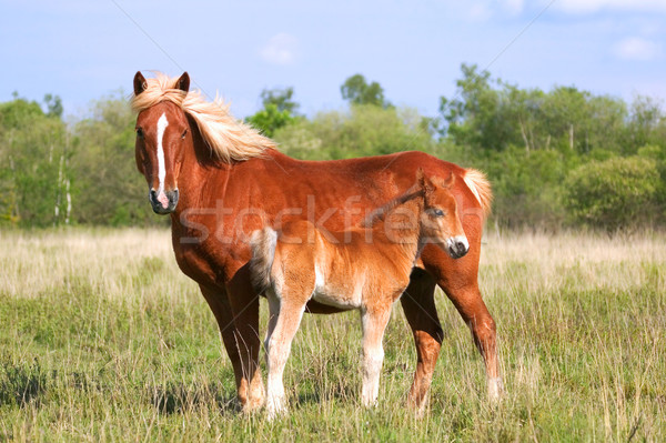 Mare and Colt profile Stock photo © RTimages