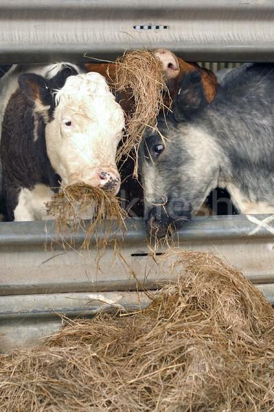 Stretto pranzo tre vacche mangiare fieno Foto d'archivio © RTimages