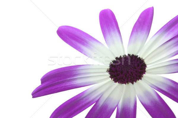 Magenta alsó helyes virág izolált fehér Stock fotó © RTimages