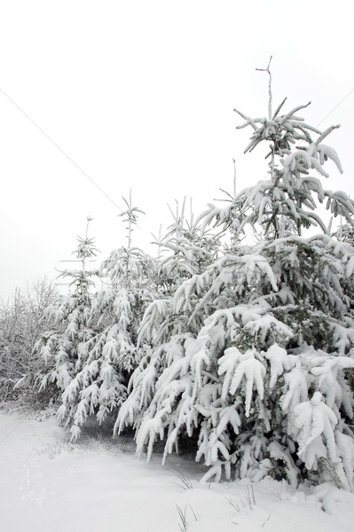 Snow covered trees Stock photo © RTimages