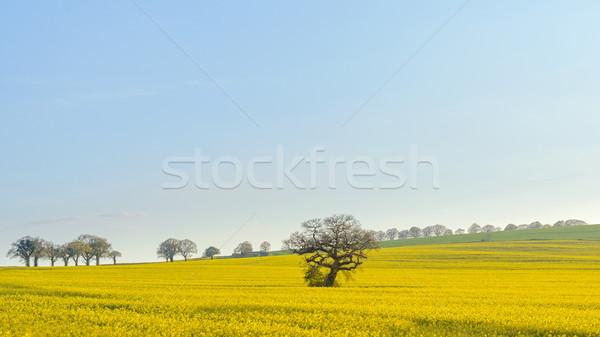 オーク 古い 樫の木 立って フィールド 南 ストックフォト © RTimages