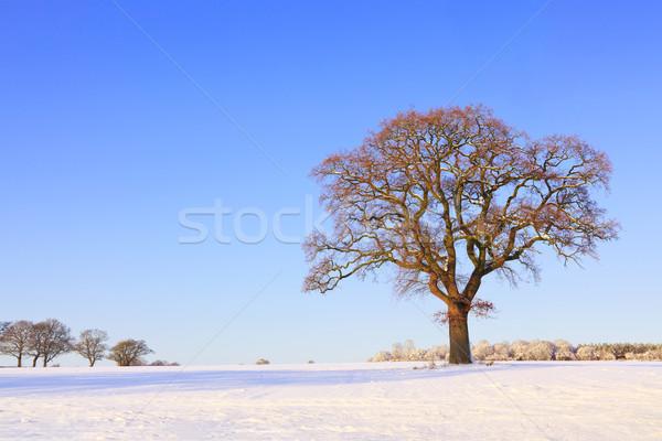 Single oak tree snow landscape Stock photo © RTimages