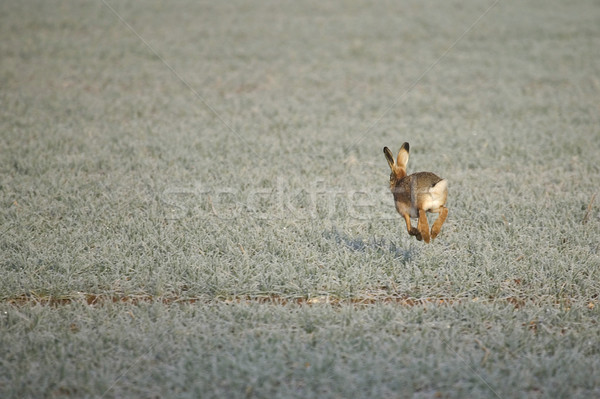 A hare on a frosty morning Stock photo © RTimages
