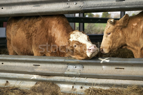 Cows whispering Stock photo © RTimages